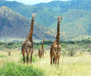 Wild giraffes (Photo: Wild Nature Institute)