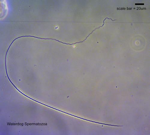 Waterdog Sperm