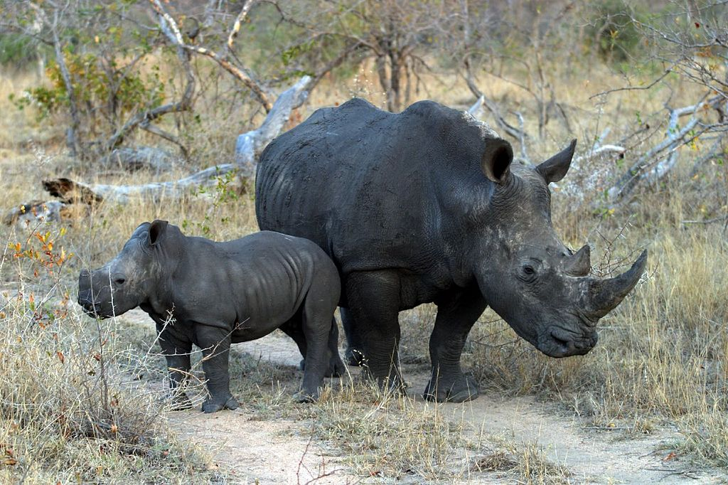 White rhino with calf (Photo: James Temple)