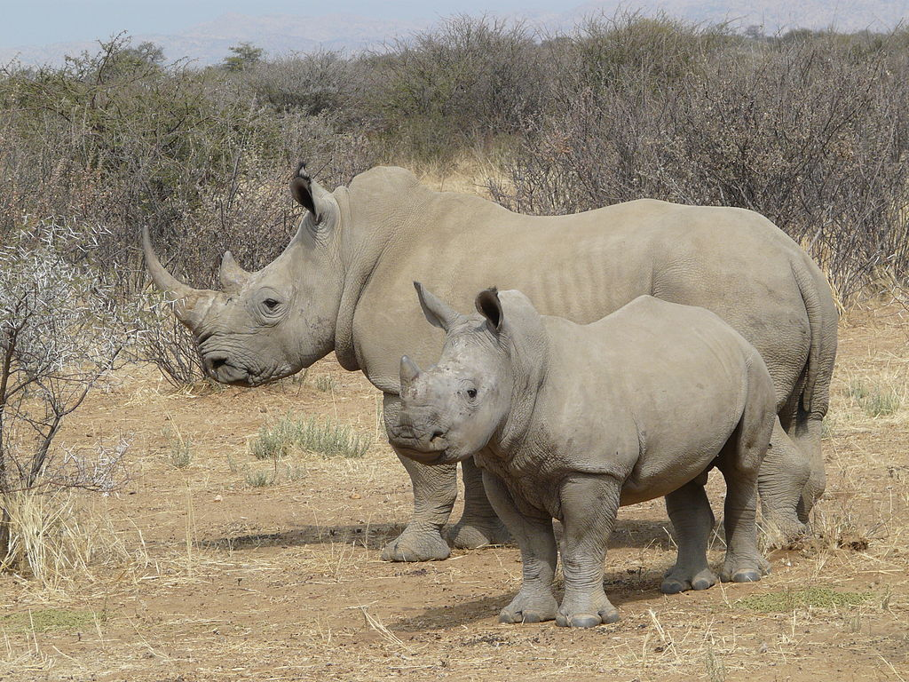 White Rhino (Photo: Raymond Ostertag)