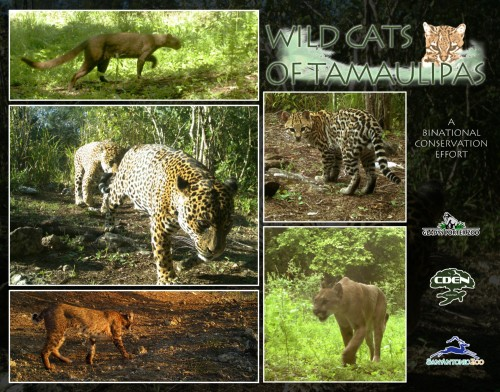 Wild Cats of Tamaulipas Poster