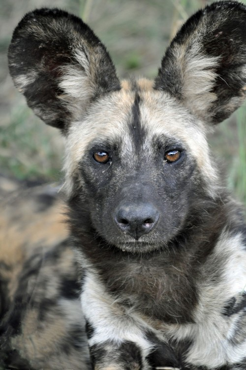 Wild Dog_AndyWithers
