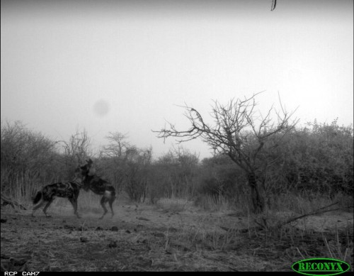 Painted dogs caught on camera (Photo: Ruaha Carnivore Project)