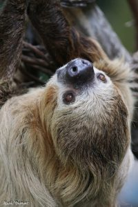 Moe, the two-toed sloth (Photo: Mark Dumont)