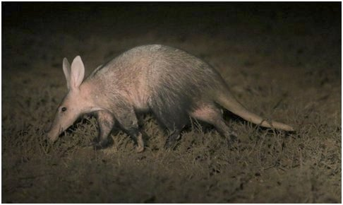 Aardvark spotted at night during our search for black-footed cats (Photo: Anneke Moresco)