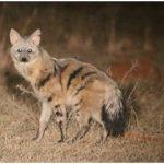 Aardwolf (Photo: Anneke Moresco)