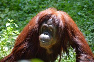Alex, our new female orangutan (Photo: Lisa Hubbard)