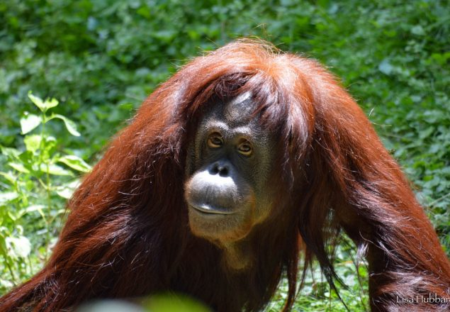 Alex, our new female orangutan (Photo: Lisa Hubbard)