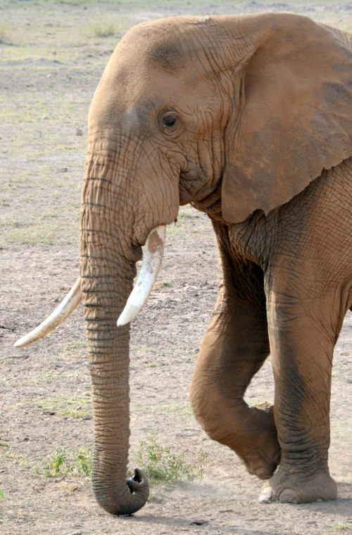 Bull elephant in Amboseli National Park (Photo: Shasta Bray)