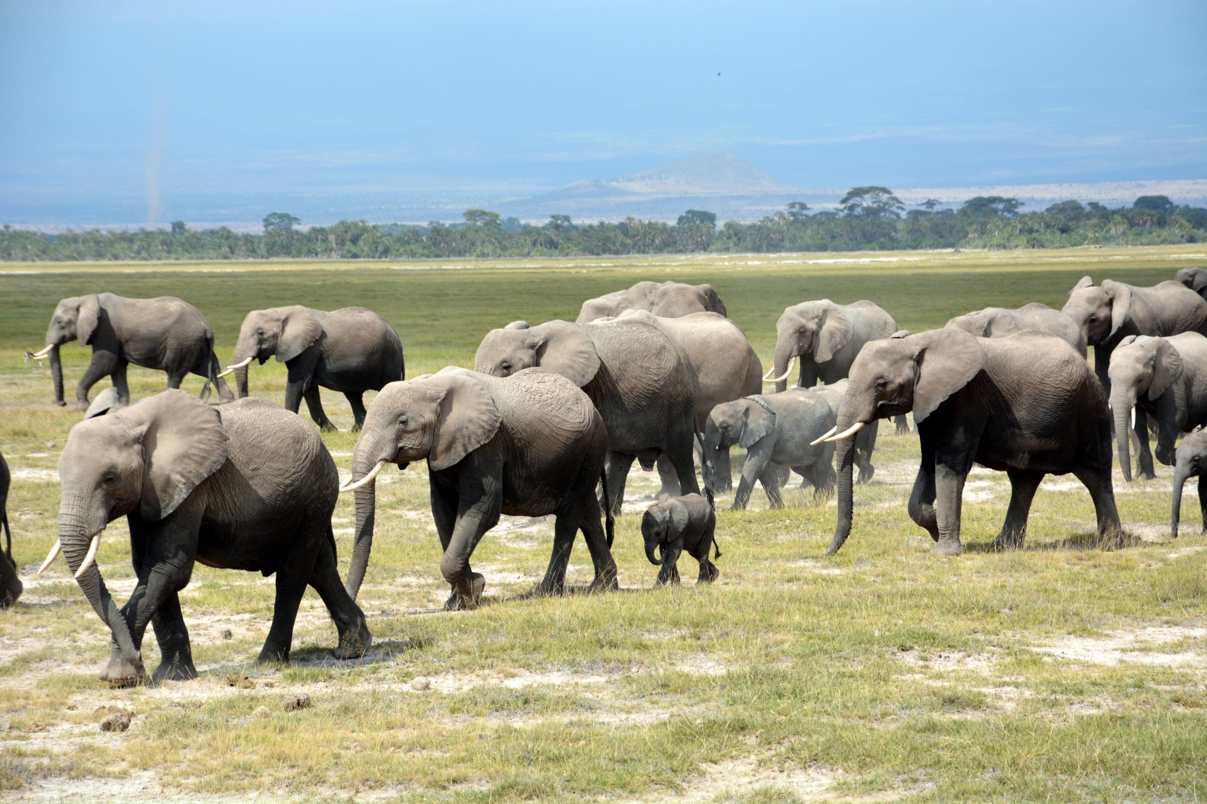 There must have been more than 40 elephants in this herd! (Photo: Shasta Bray)