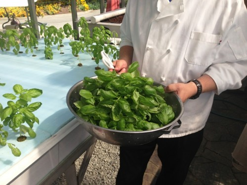 Freshly harvested basil, ready for the cafe kitchens!