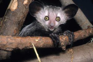 Aye aye, a nocturnal primate (Photo: David Haring)