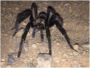 Baboon spider (Photo: Beryl Wilson)
