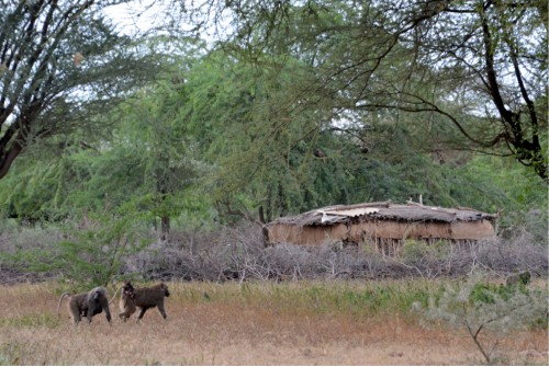 Olive baboons foraging just outside a Maasai boma (Photo: Shasta Bray)