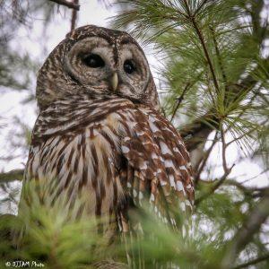 Barred owl (Photo: DJJAM)