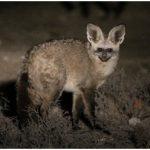 Bat-eared fox (Photo: Anneke Moresco)