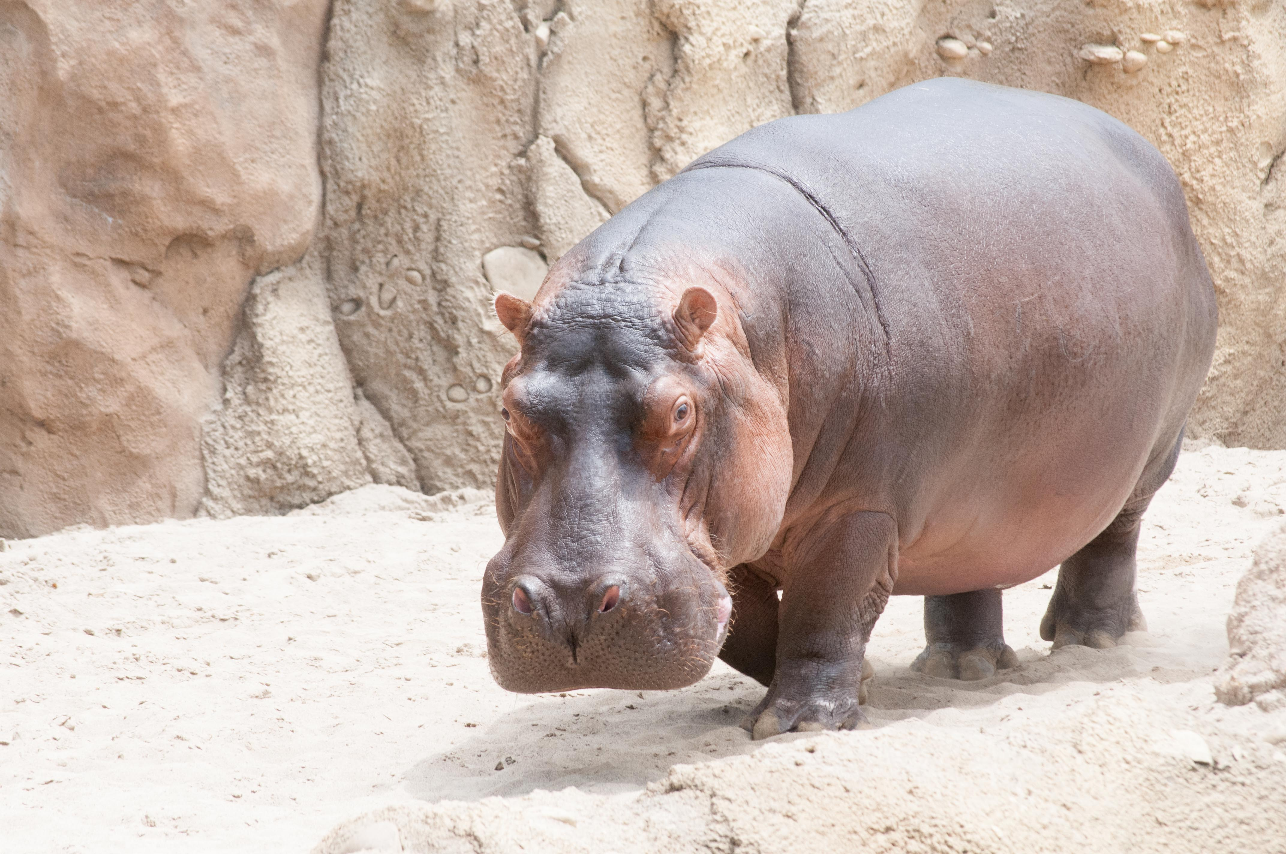 shipping hippos can be a tricky business involving extra large travel crates flat bed trailers trucks cranes and lots of communication - Pictures Of Hippos