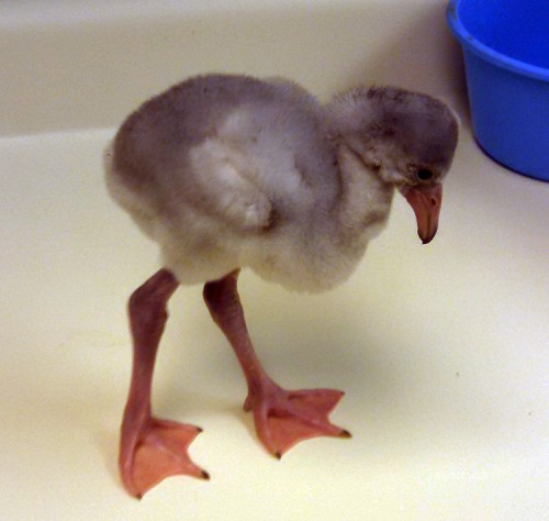Flamingo chick - 12 days old.