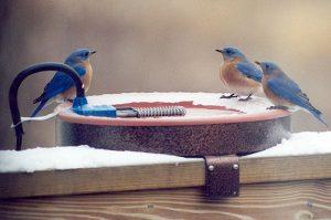 Bluebirds enjoying a winter bath (Photo: Jane Kirkland)