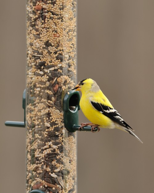 Goldfinch at a bird feeder