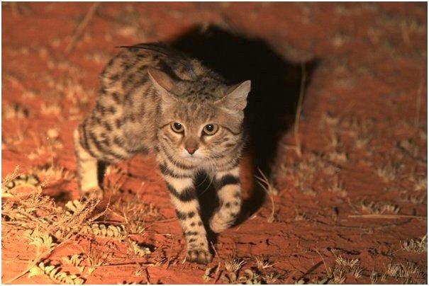 orange cat with blue eyes