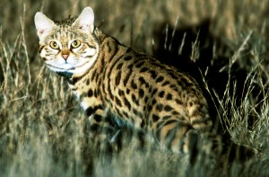 Black-footed cat (Photo: Alex Sliwa)