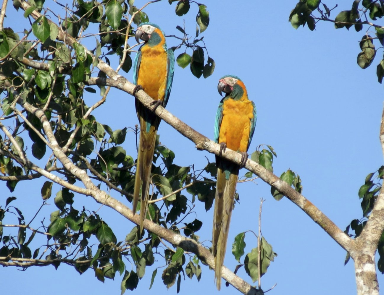 Blue-throated macaw pair