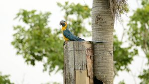 Blue-throated macaw on a nest box (Photo: Adian Maccormick)
