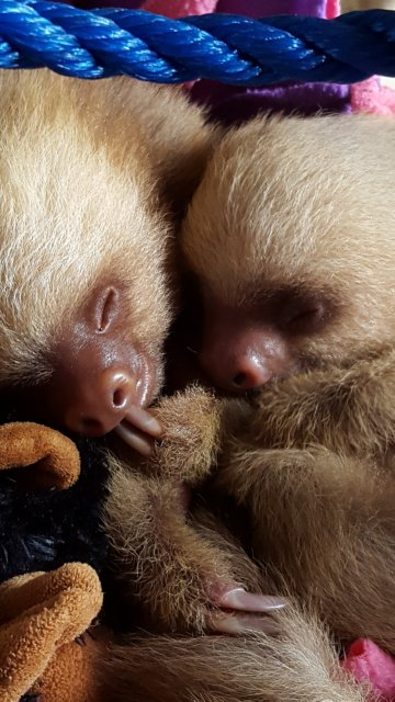 Orphaned and hand-reared Two-toed sloths Bruno and Elvis snuggle between feedings. (Photo: Sarah Dapper)