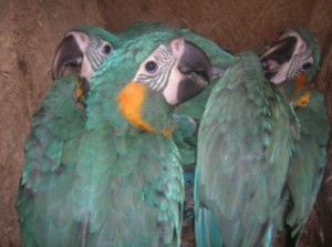 Blue-throated macaw chicks in a nest box (Photo:   Barbara Heidenreich)