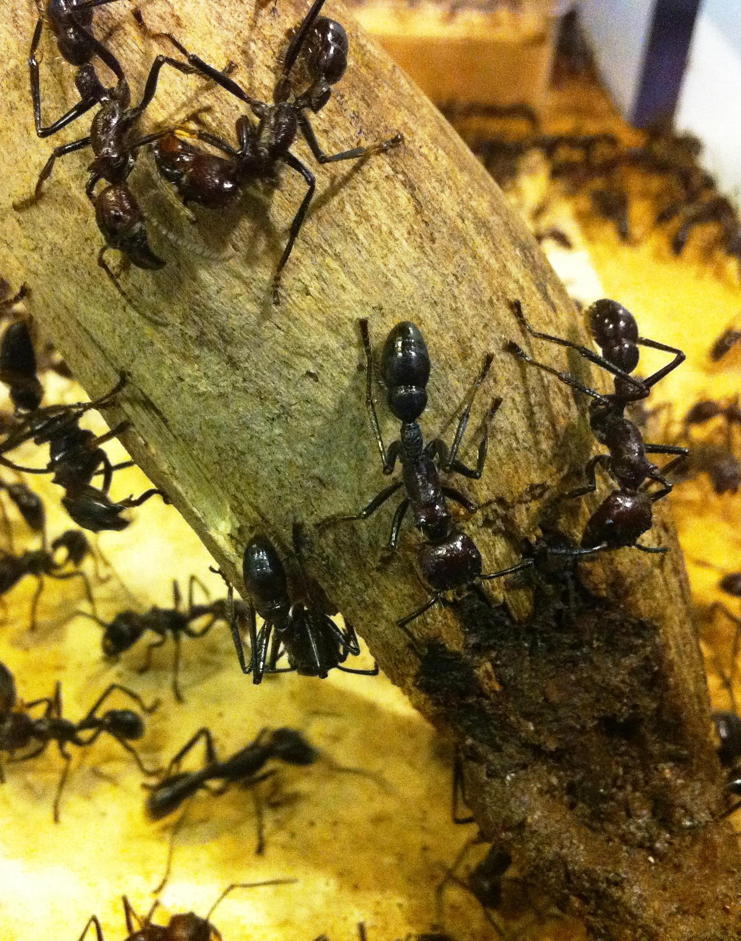 Bullet Ants Cincinnati Zoo Blog