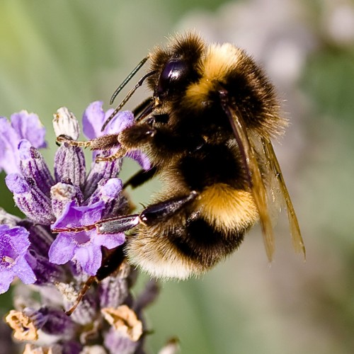 Bumblebees are bigger, pudgier, furrier and have rounded tips to their abdomens, and they don't have many stripes. (Photo: Mark Robinson)