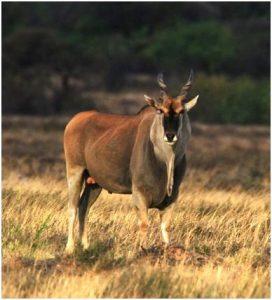 Cape eland (Photo: Alex Sliwa)