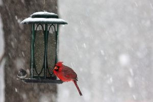 Bird feeders offer supplemental nutrition to winter birds.
