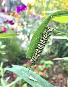 Monarch caterpillar (Photo: Laura Chenault)