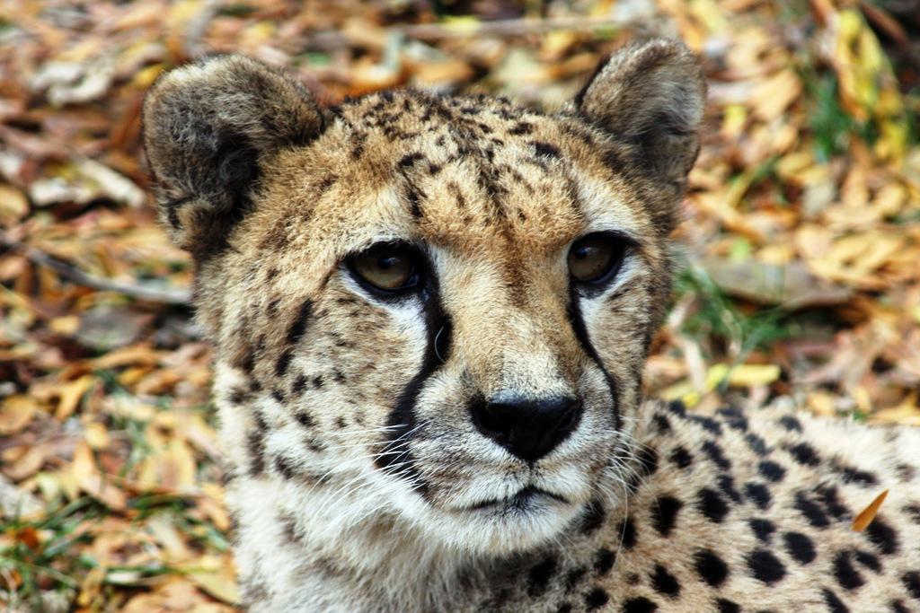 Cheetah (Photo: Connie Lemperle)