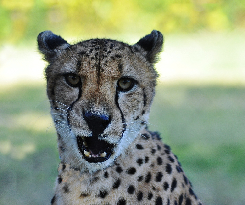 Cheetahs have personality, too!