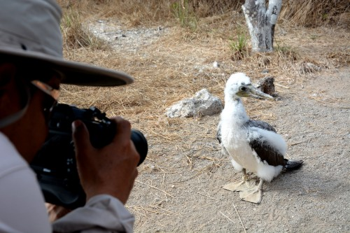 This young Nazca booby on Genovesa Island was so interested in us that it came almost too close to get a good picture of it. (Photo: Shasta Bray)