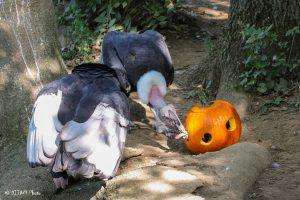 Condors with pumpkins (Photo: DJJAM)