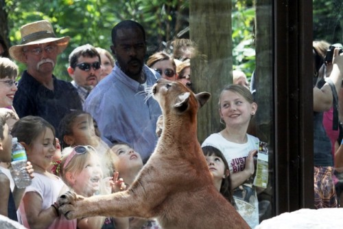 Visitors get up close and personal with a cougar in the new exhibit.