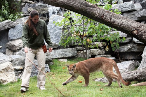 Working on new behaviors in the cougar exhibit