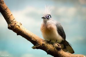 Crested coua, a type of cuckoo (Photo: Erica Hill)