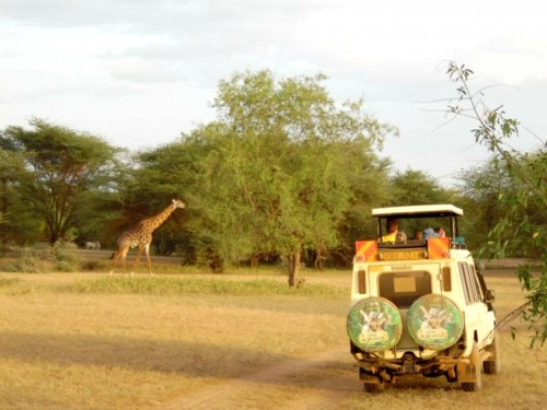 Seeing giraffe on a game drive (Photo: Jill Bailey)