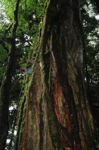 Climbing inside a strangler fig
