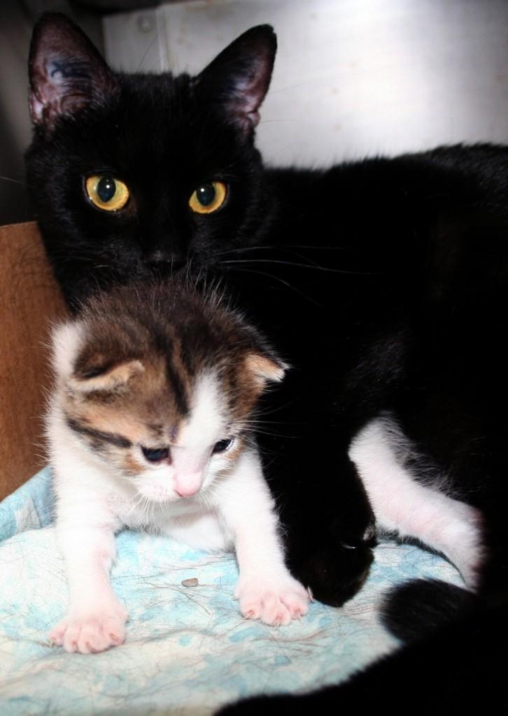 SHERRY: Ebony kittens
