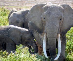 African elephants, Amboseli National Park, Kenya (Photo: Shasta Bray)