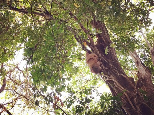 Ellen exploring the treetops (The Sloth Institute)