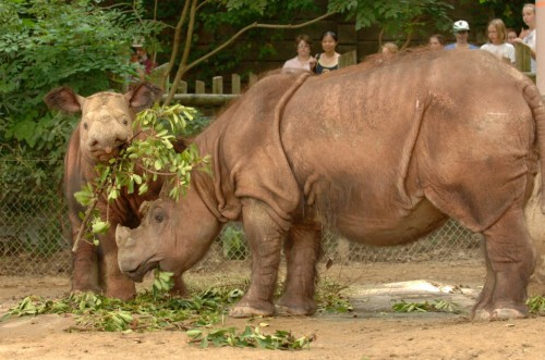 Emi and her second calf, Suci (Photo: David Jenike)