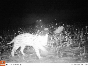 Fishing cat caught on camera outside Krishna Wildlife Sanctuary (www.fishingcat.org)