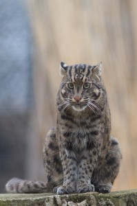 Minnow the fishing cat (Photo: Mark Dumont)